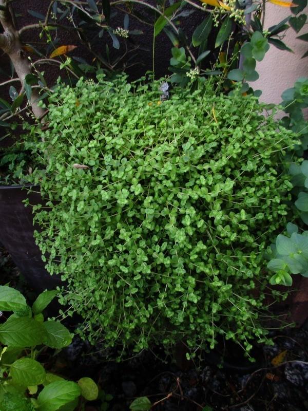 植物「リベンジ&アオワーネッキー発根」_b0362459_17003824.jpg