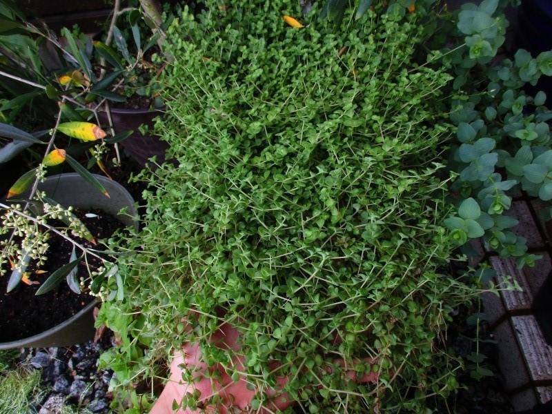 植物「リベンジ&アオワーネッキー発根」_b0362459_17030274.jpg