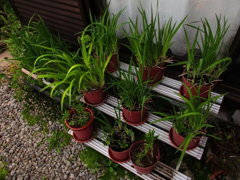 植物「リベンジ&アオワーネッキー発根」_b0362459_17152760.jpg