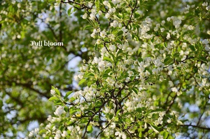 エゾノコリンゴが今年も_b0341869_17303457.jpg