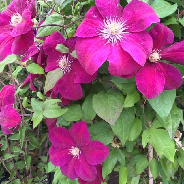 木のポピー、ピンクのケイトウー近所の園芸店_e0350971_07242832.jpg