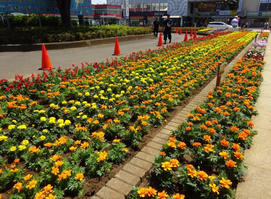 小平駅南口広場花壇植替え_f0059673_20503355.jpg