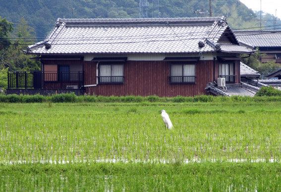 田んぼに白い鳥 黒い鳥_b0145296_18425303.jpg