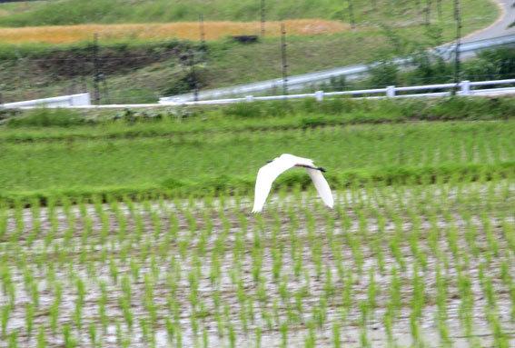 田んぼに白い鳥 黒い鳥_b0145296_18425920.jpg