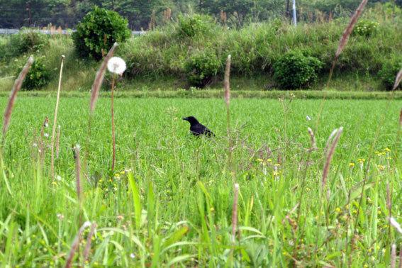 田んぼに白い鳥 黒い鳥_b0145296_18430581.jpg