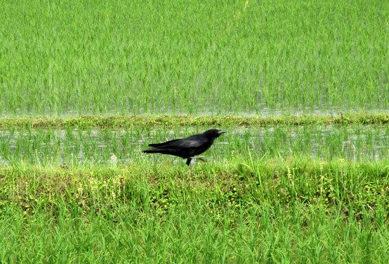 田んぼに白い鳥 黒い鳥_b0145296_18430983.jpg