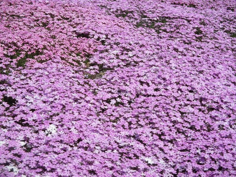 5月26日(日)・・・19日の休業日。東藻琴の芝桜②_f0202703_01074561.jpg