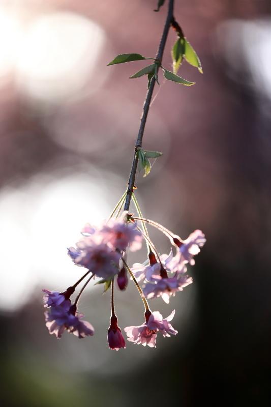 国上寺のしだれ桜2_e0169421_21512105.jpg