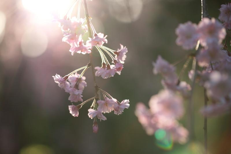 国上寺のしだれ桜2_e0169421_21512203.jpg
