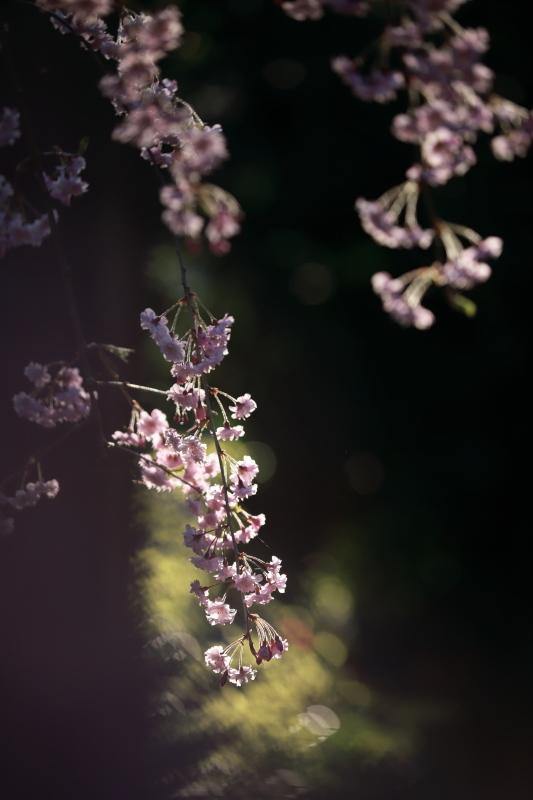 国上寺のしだれ桜2_e0169421_21512281.jpg