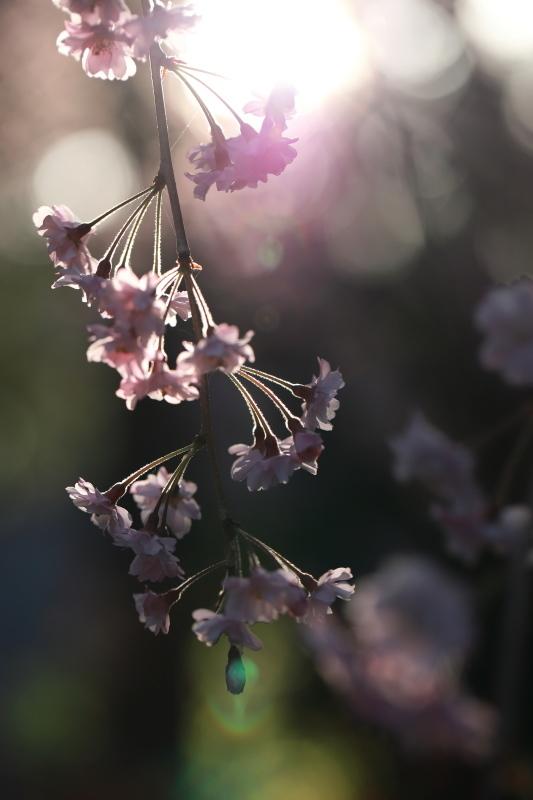 国上寺のしだれ桜2_e0169421_21512391.jpg