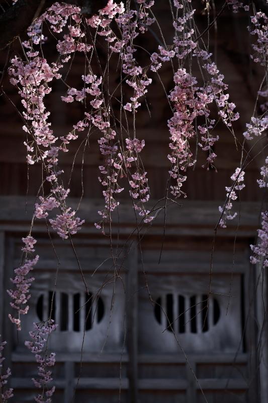 国上寺のしだれ桜3_e0169421_21513344.jpg