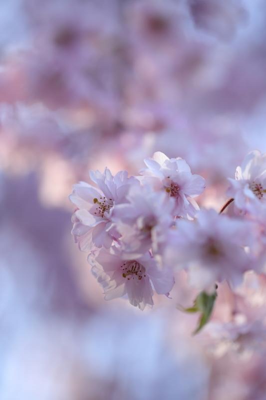 国上寺のしだれ桜3_e0169421_21514211.jpg