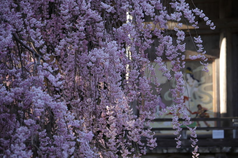 国上寺のしだれ桜3_e0169421_21514271.jpg
