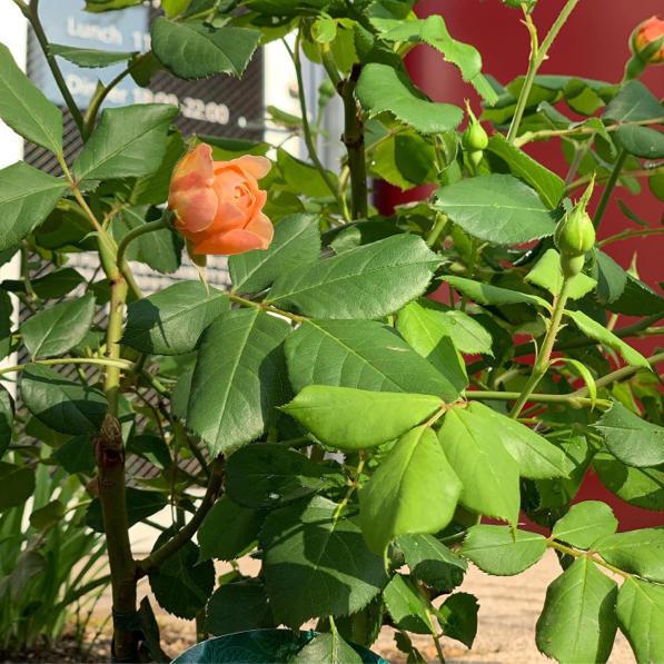 ルセットのバラが咲き始めました_f0377325_16524809.jpg