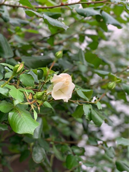 ルセットのバラが咲き始めました_f0377325_16524848.jpg