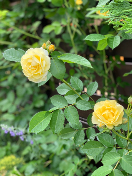 ルセットのバラが咲き始めました_f0377325_16525042.jpg
