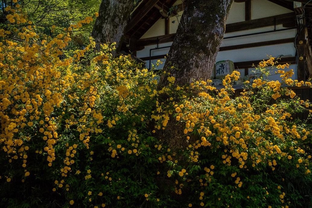 松尾大社~山吹_e0363038_11131800.jpg