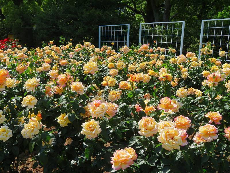満開の「バラ園」④(植物園)20190523_e0237645_10264265.jpg
