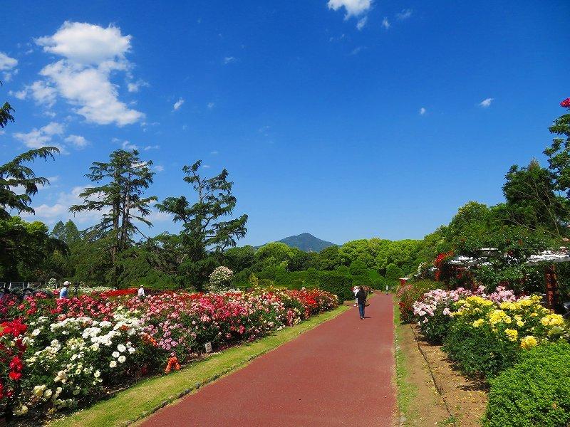 満開の「バラ園」④(植物園)20190523_e0237645_10264309.jpg