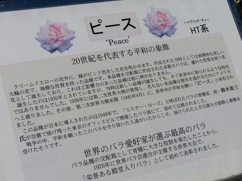 満開の「バラ園」④(植物園)20190523_e0237645_10264352.jpg