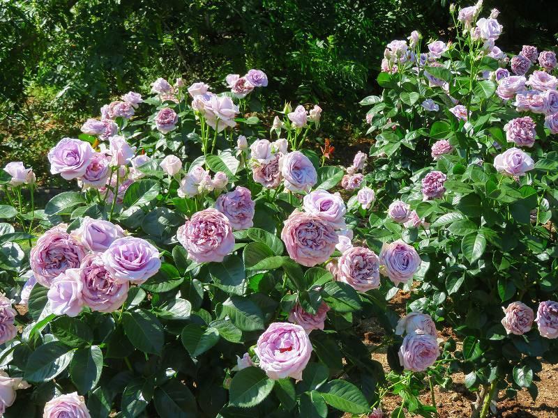 満開の「バラ園」④(植物園)20190523_e0237645_10264356.jpg