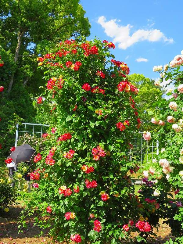 満開の「バラ園」④(植物園)20190523_e0237645_10264357.jpg
