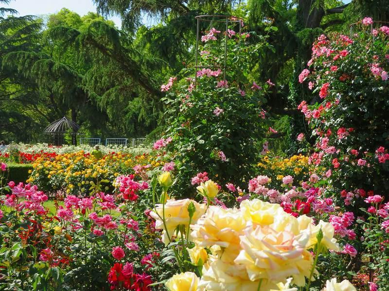 満開の「バラ園」④(植物園)20190523_e0237645_10264367.jpg