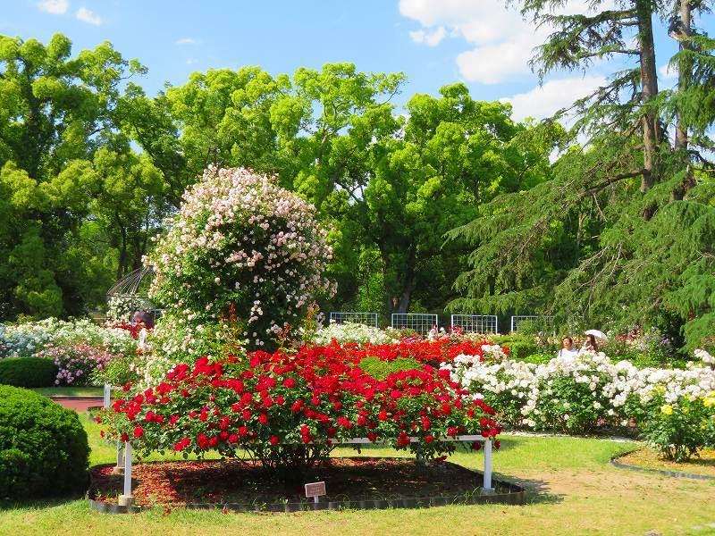 満開の「バラ園」④(植物園)20190523_e0237645_10264388.jpg