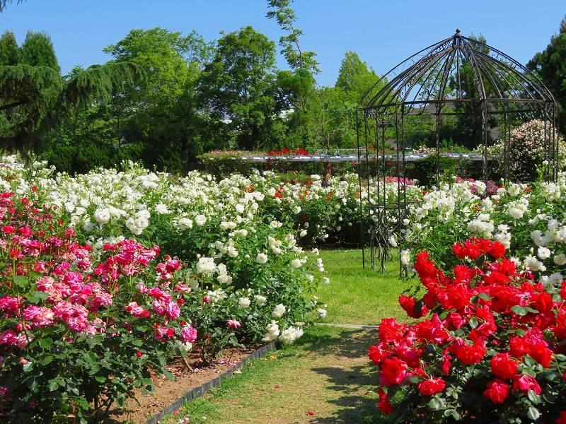 満開の「バラ園」④(植物園)20190523_e0237645_10264461.jpg