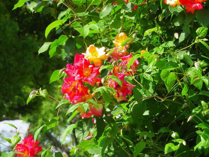 満開の「バラ園」④(植物園)20190523_e0237645_10264462.jpg