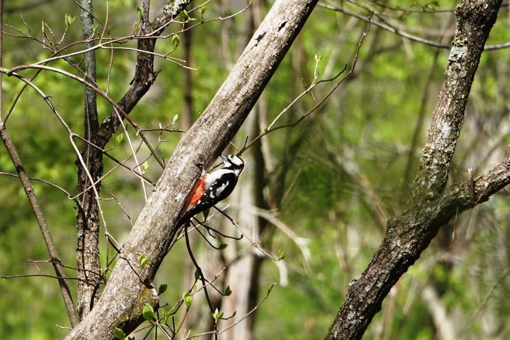 野鳥トレ163 春の信州ツアー2_b0227552_19114231.jpg