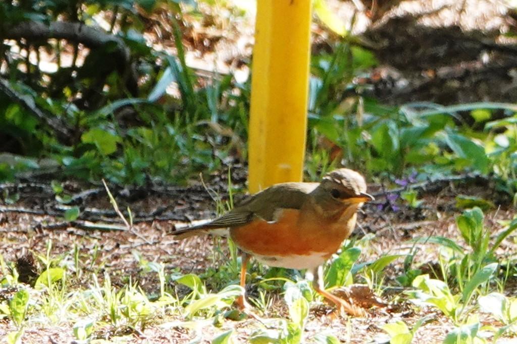 野鳥トレ163 春の信州ツアー2_b0227552_19123302.jpg