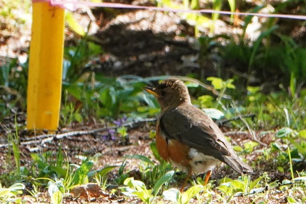 野鳥トレ163 春の信州ツアー2_b0227552_19124117.jpg