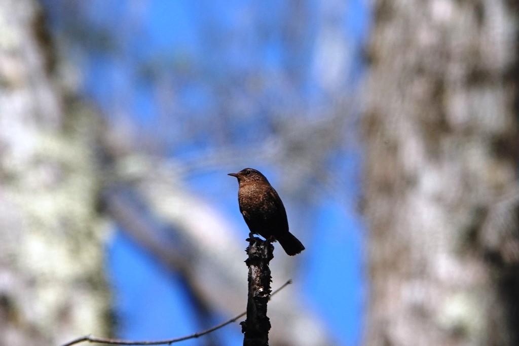 野鳥トレ163 春の信州ツアー2_b0227552_19125712.jpg