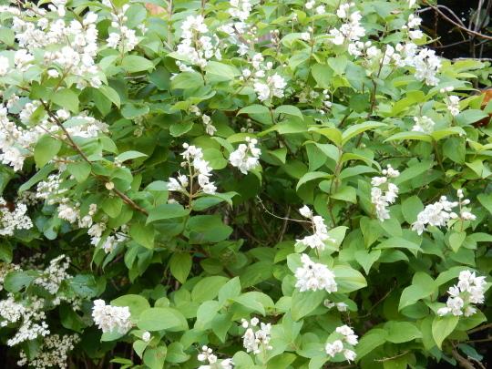 '19,5,27(月)散歩道にはハニーサックルが良い香り!_f0060461_09410401.jpg