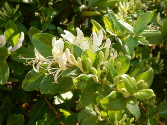 '19,5,27(月)散歩道にはハニーサックルが良い香り!_f0060461_09450844.jpg