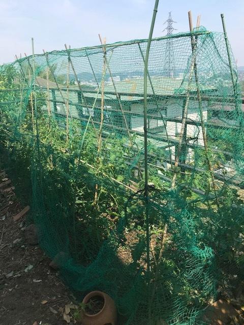 ネギ移植・トマトに防獣ネット張りなど5・25~27_c0014967_18111562.jpg