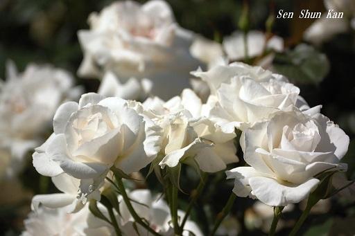 植物園の薔薇 2019年5月22日_a0164068_23043250.jpg