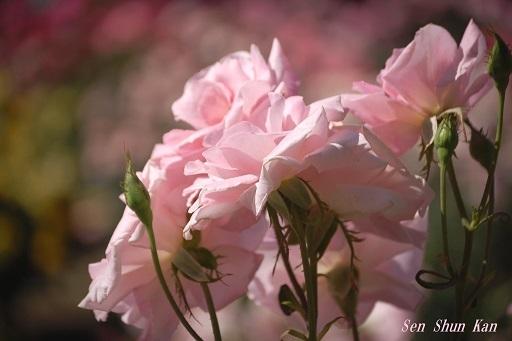 植物園の薔薇 2019年5月22日_a0164068_23043325.jpg
