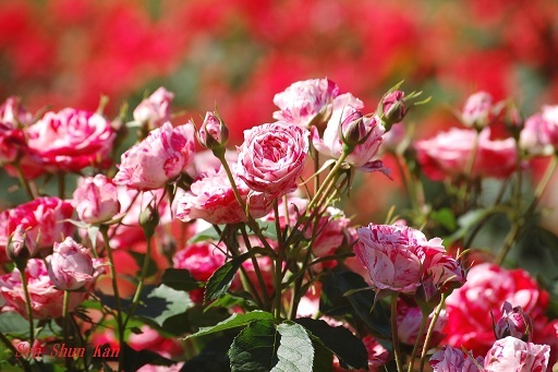植物園の薔薇 2019年5月22日_a0164068_23043360.jpg