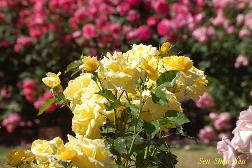植物園の薔薇 2019年5月22日_a0164068_23043366.jpg