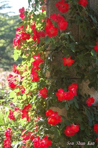 植物園の薔薇 2019年5月22日_a0164068_23063774.jpg