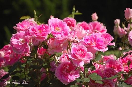 植物園の薔薇 2019年5月22日   その2_a0164068_23172213.jpg