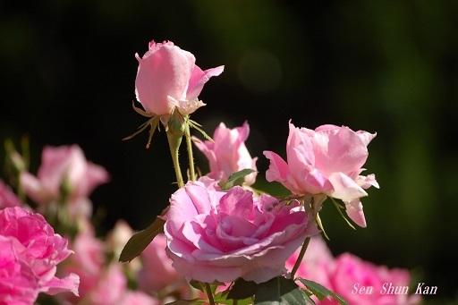 植物園の薔薇 2019年5月22日   その2_a0164068_23172215.jpg