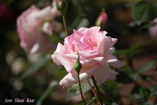 植物園の薔薇 2019年5月22日   その2_a0164068_23172241.jpg