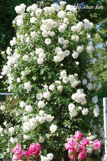 植物園の薔薇 2019年5月22日   その2_a0164068_23172248.jpg