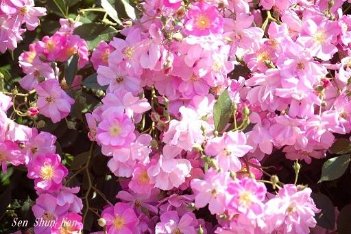 植物園の薔薇 2019年5月22日   その2_a0164068_23172292.jpg