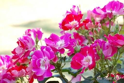 植物園の薔薇 2019年5月22日   その2_a0164068_23172319.jpg