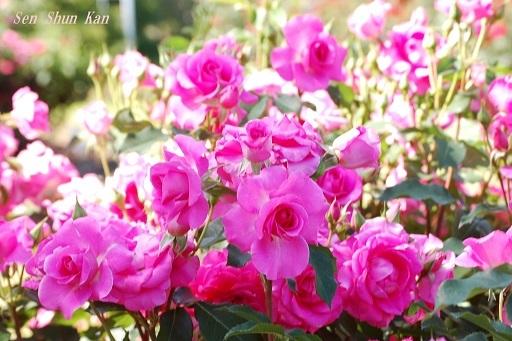 植物園の薔薇 2019年5月22日   その2_a0164068_23172320.jpg